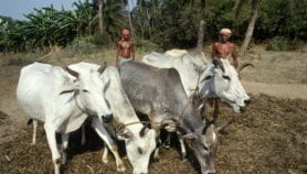 Software helps cut Indian cows' methane emissions