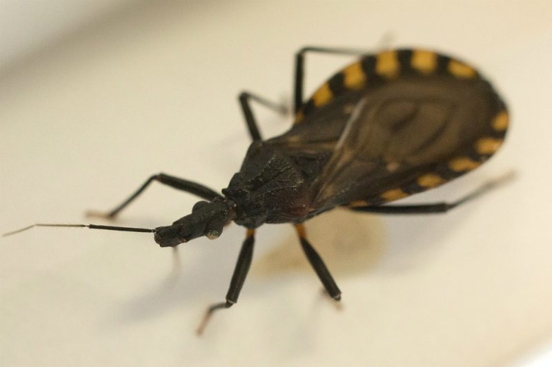The Triatoma infestans bug, one of 120 blood-sucking species of insects that carry the Trypanosoma cruzi parasite responsible for Chagas' disease
