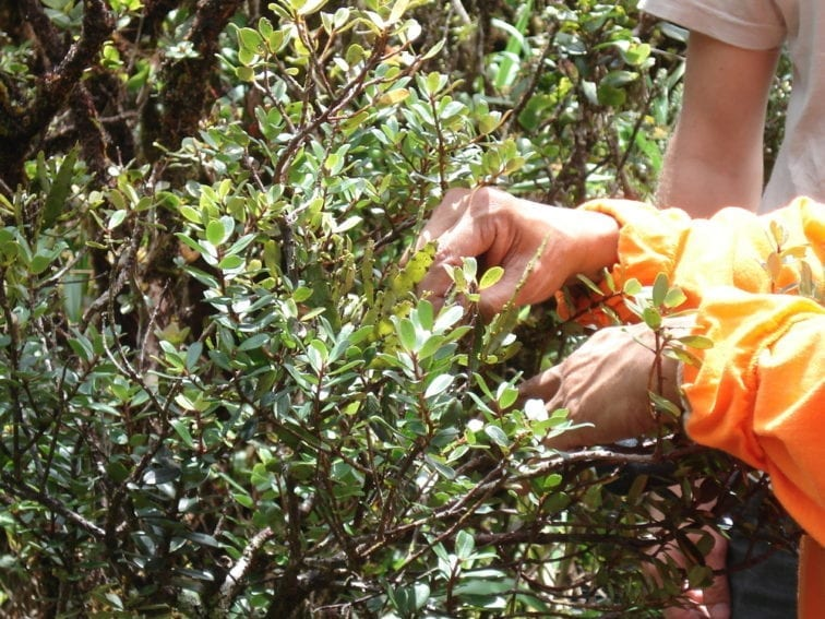 This is Hawaiian mistletoe. Many of the country's plants have evolved to drop their thorns and poison defenses because, historically, the islands had very few predators and dangerous beetles. Invasive species now find these plants an easy target.