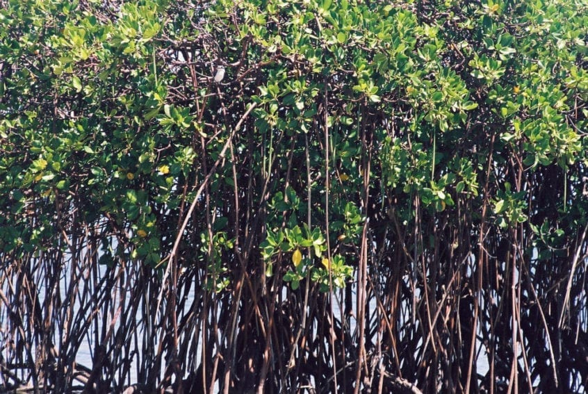 Mangroves around Tonga's coastlines. They are not perfect solutions but can sometimes reduce damage from coastal erosion, tsunamis and cyclones. Mangroves are often protected and restored for this purpose