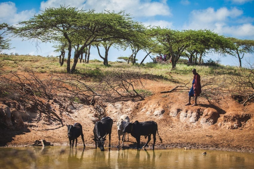 Maasai pastoralists live in the Great Rift Valley in lands straddling southern Kenya and northern Tanzania. Their lives and culture centre around herding cattle, goats and sheep: they rely on animals for meat, blood and milk; livestock provide income; and migration routes are shaped by water access and climate