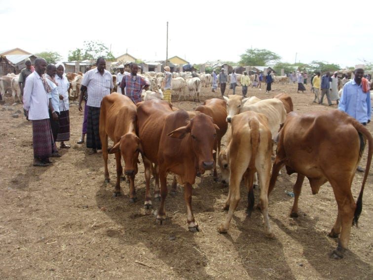 Livestock are central to the livelihoods and cultures of Kenyan pastoralists, and meat and dairy are their staples. The country is prone to Rift Valley fever, a zoonotic disease passed between livestock and humans. During outbreaks, farmers and others in the livestock supply chain can suffer huge losses