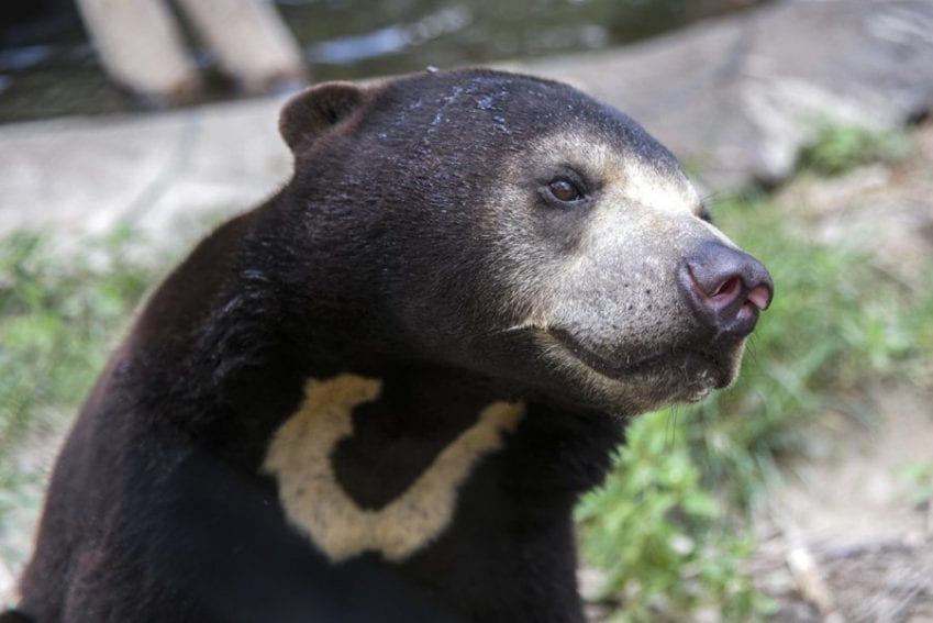 Cambodia is home to at least 18 vulnerable species, including the Asiatic black bear, Sun bear, Asian elephant, Indochinese tiger and the Pileated gibbon.