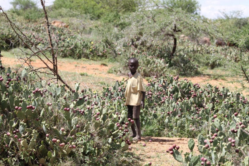 Pastoralists in Laikipia county in central Kenya depend on their biodiverse habitat for their livelihood. But the land is being overrun by prickly pears, threatening the way of life of Maasai herdspeople and their families