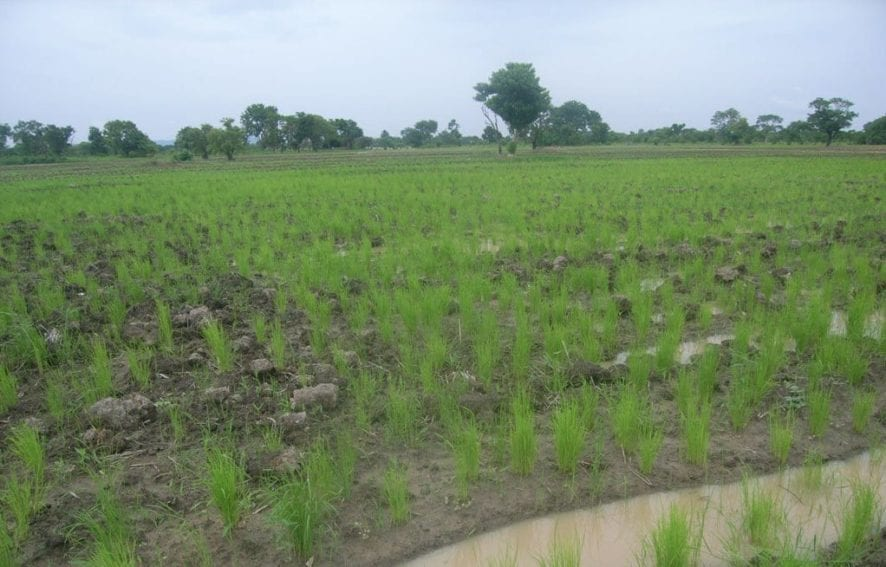 Sowing rice seedlings mechanically costs US$ 400 per acre, while sowing it manually cost US$ 150