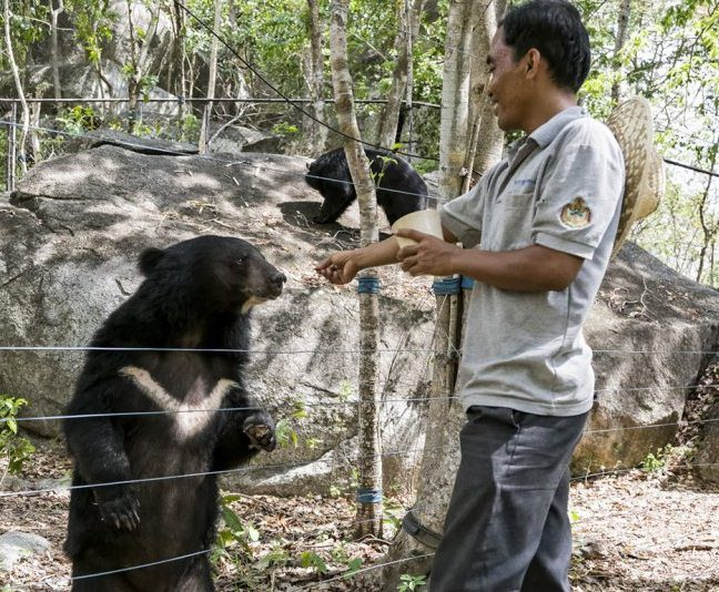 Keeping or poaching bears is illegal in Cambodia. Despite recent efforts to increase penalties, both the hunting and killing of Sun bear and Asiatic black bear continues.