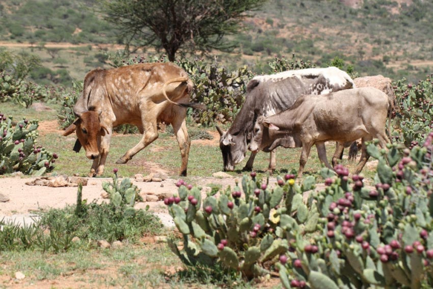 The cactuses' spines can blind or otherwise seriously injure livestock foraging near the plants. When goats, sheep and other animals try to eat the plant's fruit, the spines can cause painful abscesses, which inhibit feeding
