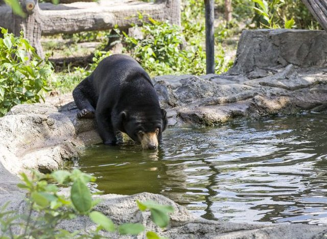 The majority of the wild bears live in national parks and protected forests, but land encroachment, illegal logging and wildlife poaching threaten all of these protected areas.