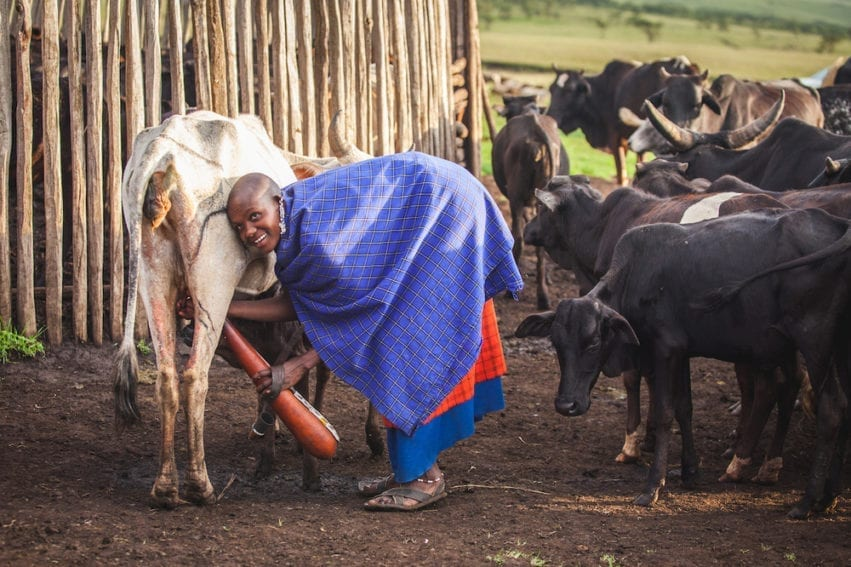 At the end of the day, the herders return to the Boma, where women take charge of the herd for milking. If an animal produces less milk than normal, this could be a sign of disease. Women inform the household head about any drop in production