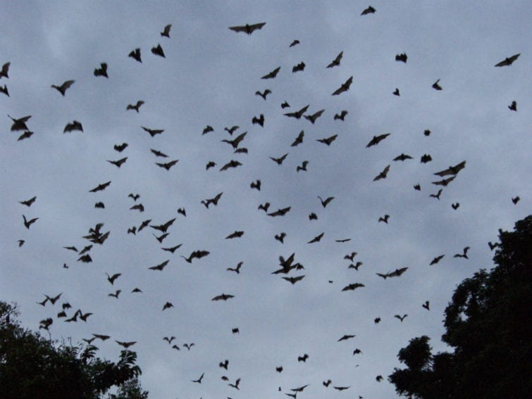 Fruit bats host henipaviruses, which cause deadly encephalitic disease in people. Fieldwork in Ghana focused on three sites: a hospital in Accra; Tano Sacred Grove; and Golokuati, where bats live in people's homes. Hunters, fruit farmers, traders and those living close to roosts were found to be most at risk