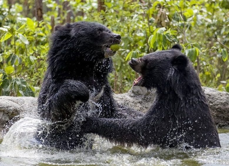Free the Bears Fund cares for more than 100 bears. Twenty one forested enclosures have been built over seven hectares to house a mixture of Sun bears and Asiatic black bears of different ages.