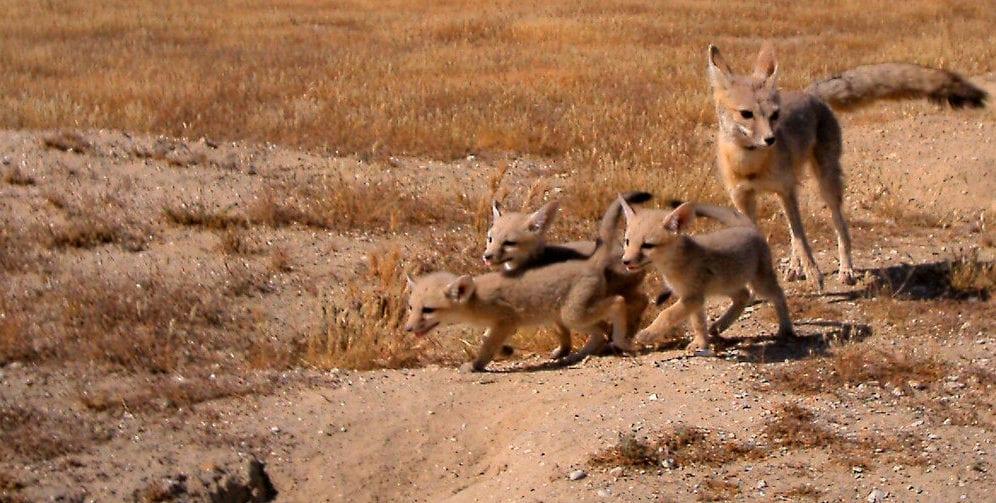 ENdangered Foxes