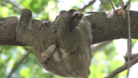 Panama's sloths harbour potential drugs