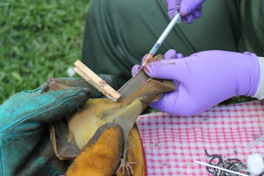 Scientists take a blood sample. The fieldwork teams — made up of ecologists, veterinary and social scientists — studied bat dynamics, infection, and points of human interaction, and human perceptions of bats and disease risk. The findings then help shape appropriate policies and public health campaigns