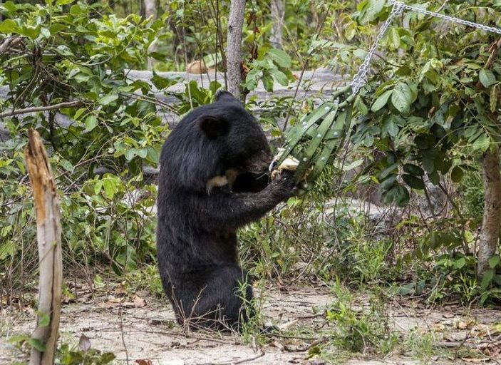 Some of the bears have been saved from illegal smuggling into neighbouring countries for use in bear bile farms. Bear bile has been used in traditional Chinese medicine for thousands of years.