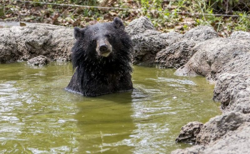 Bear bile contains ursodeoxycholic acid, which is effective against some ailments, such as some liver diseases. Yet traditional practitioners also prescribe bear bile for common conditions such as a sore throat.