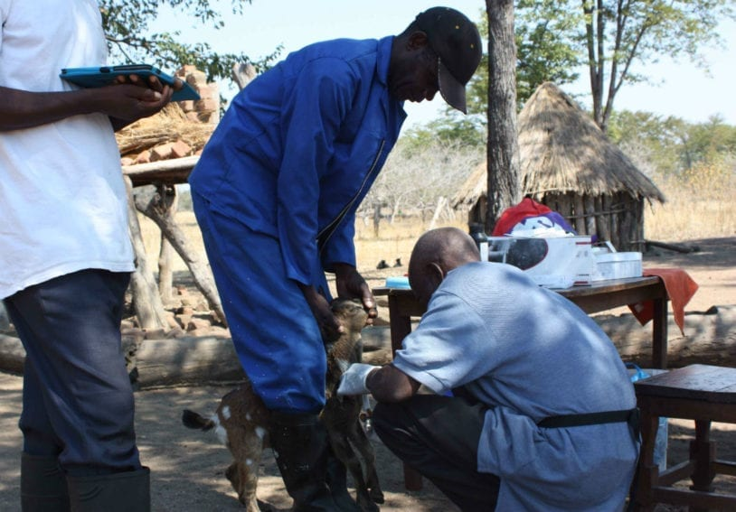 Scientists take a blood sample from a goat in the Laungwa valley, Zambia. Researchers were investigating trypanosomiasis and tick-borne pathogens in livestock. Livestock are being kept in significant numbers for the first time in Luangwa and are a reservoir for the trypanosome causing human sleeping sickness