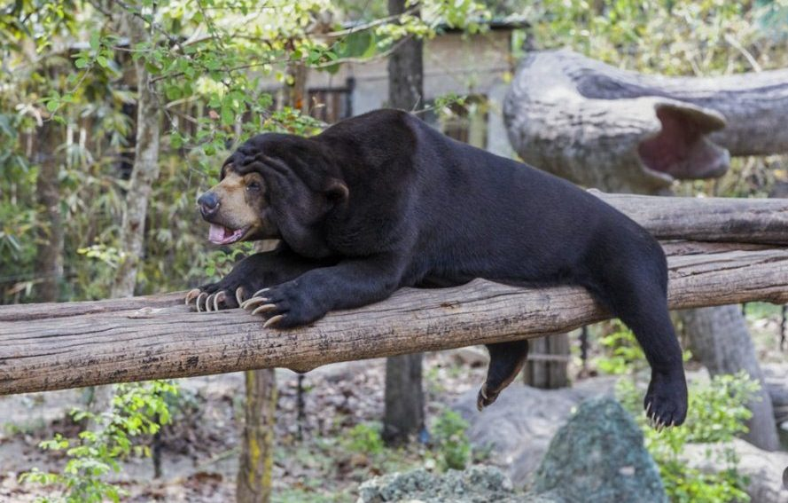 Hefty is a Sun bear that arrived at the sanctuary last February. She was discovered by the police in a garment factory whose owner had gone bankrupt and fled the country. When she arrived, she was severely obese.