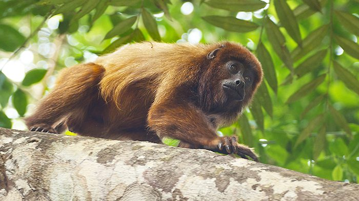 The brown howler monkey