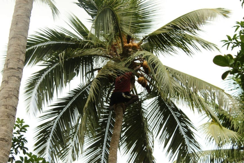 Every part of the coconut palm can be used for food or raw materials. On Zanzibar, the tree's leaves are woven and used to line the roofs of small houses, protecting them from wind and rain. The tree's scientific name is Cocos nucifera