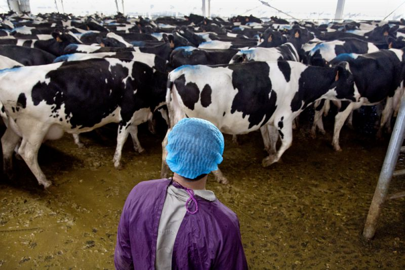 A man herds cows to and from milking