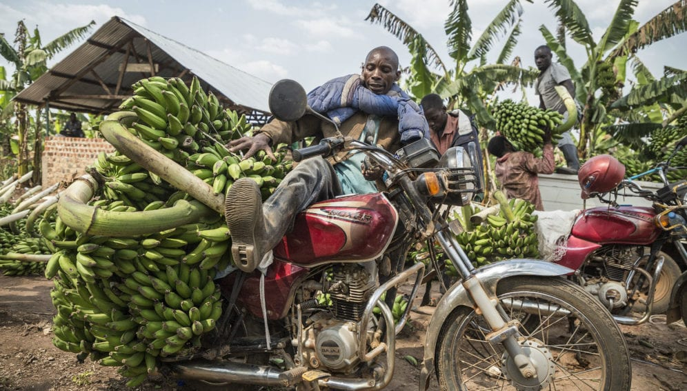 A motorcyclist his vehicle loaded with hands of matoke