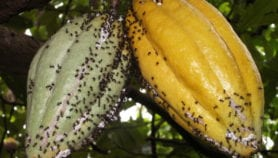 Pest ants help to improve Indonesian cocoa yields
