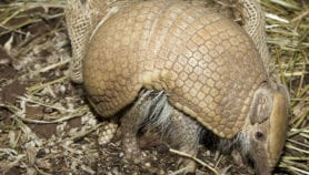Armadillo mascot scores before World Cup even starts