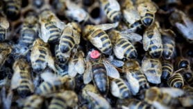 Bee booby-traps defend African farms from elephants