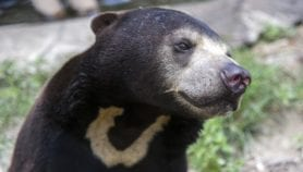 Fighting trafficking of Cambodia's vulnerable bears
