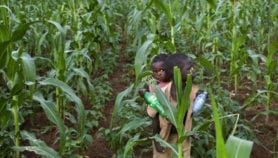 Maize breeders benefit from using drones