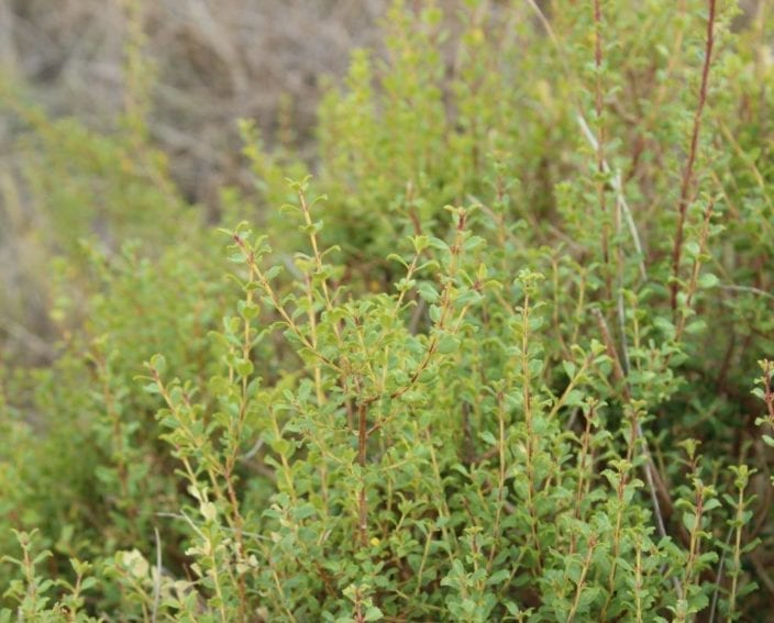 Buchu is a plant native to South Africa's Cape region. The indigenous San and Khoi people have used it for thousands of years. The United Kingdom officially recognised buchu as a medicine in the early 1800s