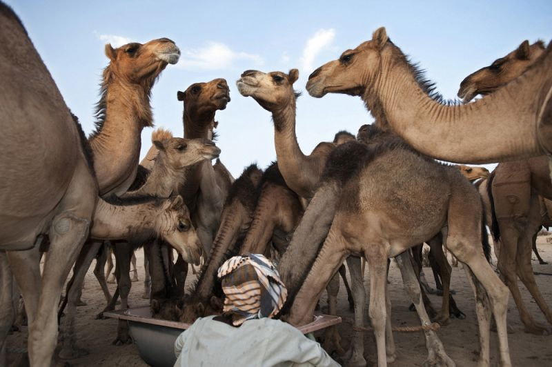 Camel herder with his caravan of camels