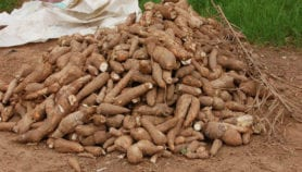Cassava could 'transform economies' in Central Africa