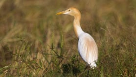 The rich diversity of birds in rice field ecosystems