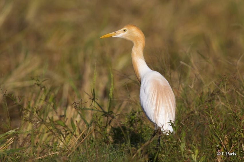 Cattle egrets feed on insects disturbed by large animals