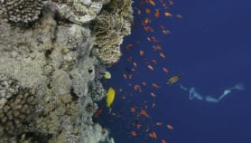 Oxygen-starved water a threat to corals