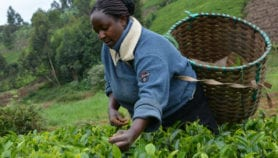 Sustainable tea breaks with tree felling tradition