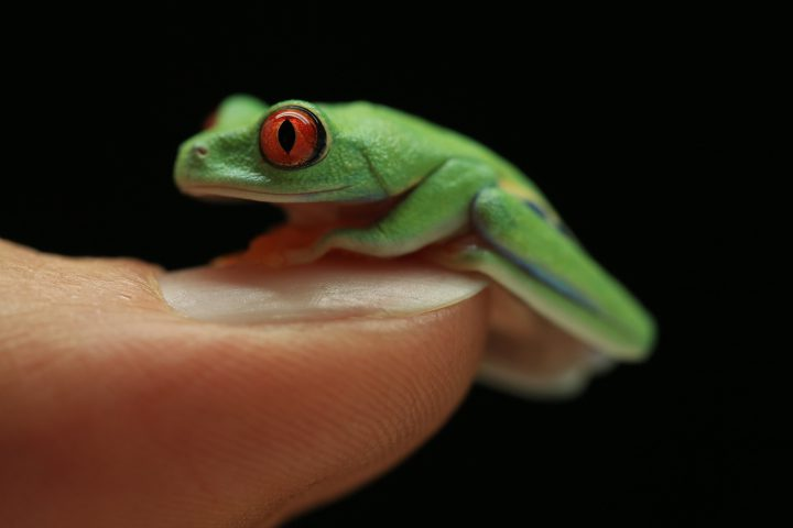 A red-eyed tree frog, which is found in Central America and northern South America. Researchers at the Horniman Museum in the United Kingdom study these non-endangered frogs to learn about more vulnerable species from the same family, such as black-eyed tree frogs.
