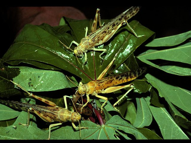 Grasshoppers_IITA Image Library