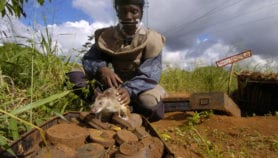 How rats become heroes in Africa