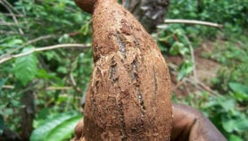 Found: Genetic markers against deadly cassava viruses