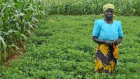 Intercropping 'boosts maize yields by 50 per cent'