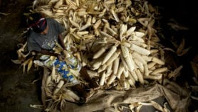 Project promises hardy maize for Africa