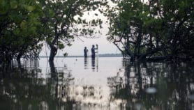 Indonesia's mangroves can help slow climate change