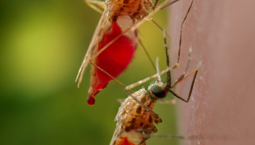 mosquitoes_having_bloodmeal