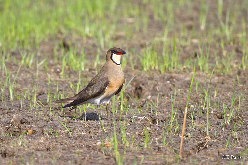 Large flocks of Oriental pratincoles roost in the rice fields