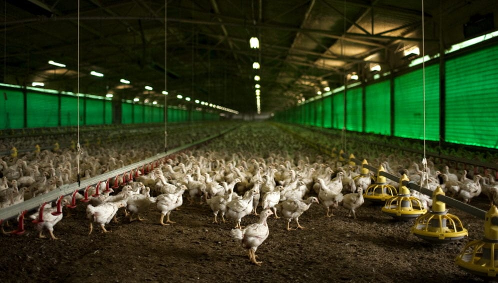 poultry farm by panos