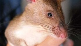 Q&A: Training rats to sniff out mines