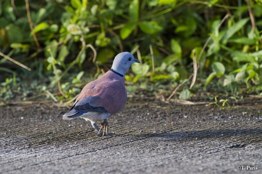 Small flocks of red turtle doves are often seen on IRRI farms in winter